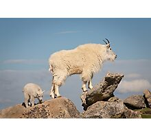 This Way - Goats at Mt. Evans Photographic Print