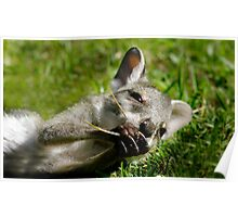 Agile Wallaby Poster