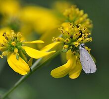 Little white butterfly on a tall yellow wildflower by mltrue