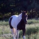 Horse in the field2 by SUZYQ56