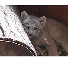 baby lynx Photographic Print