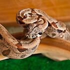 Alejandro, My Sunglow Columbian Boa by Miranda Rose