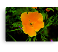 California Golden Poppy Canvas Print