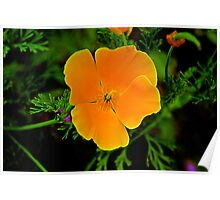California Golden Poppy Poster