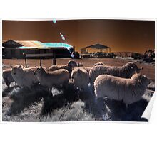 'Roundup' mustering the sheep Poster