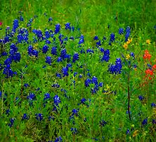 Bluebonnets and Indian Paintbrushes by Daniel Carll