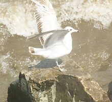 Seagull On the Rocks by 4AcePhotography