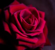 Red Rose by Lynne Morris