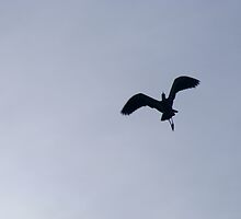 white-faced heron in flight. by chaos josh.