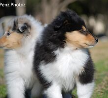 Two lovely Collie Roughs by Penny Brooks