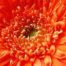 Orange Gerbera ~ The Orton Effect ~ by Sandra Cockayne