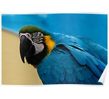 Blue-and-Gold Macaw Parrot Poster