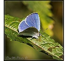 Holly Blue ( Ceelestrina argolus) (II) Photographic Print