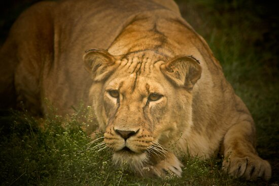 Lioness stalking prey by jdmphotography