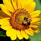 Sunflower Bee by djphoto