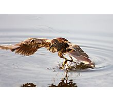 Young Black Crowned Night Heron Photographic Print