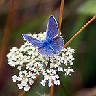Silver-studded Blue by larry flewers