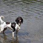 Springer Spaniel in Water by Chris Monks