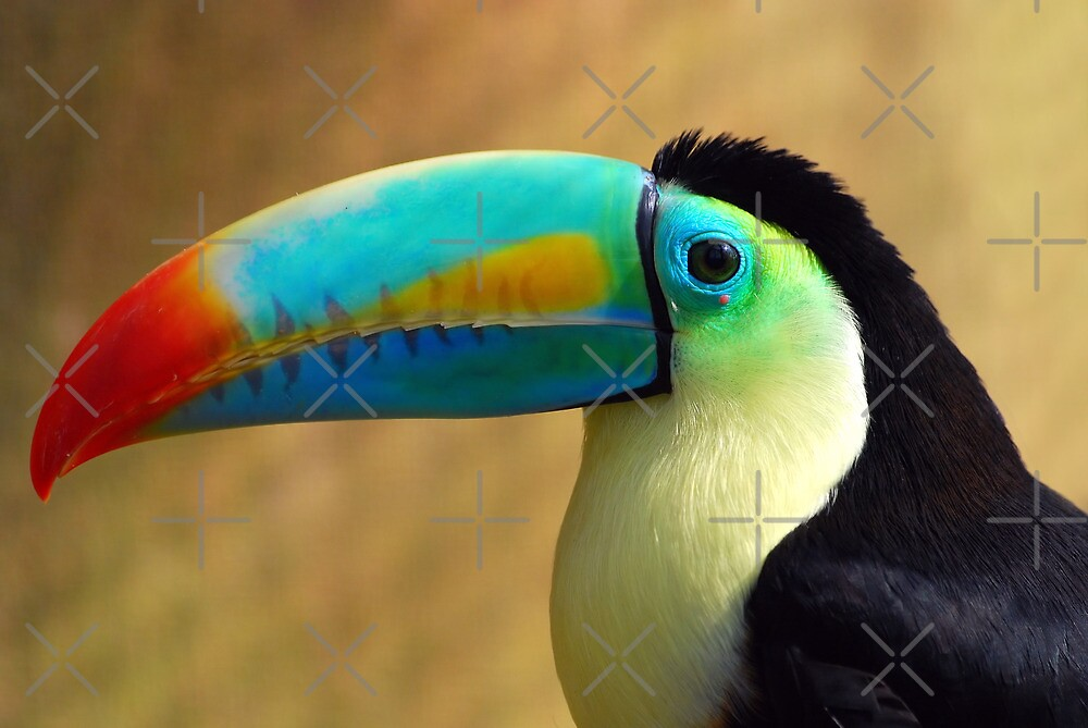 Sulfur-Breasted Toucan - (Ramphastos sulfuratus) by Robert Taylor