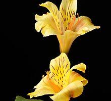 Yellow Peruvian Lilies by Sheryl Kasper