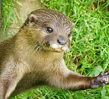 Asian Short Clawed Otter: Me Next, Me Next by Rob Parsons