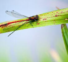 Dragonfly by AttiPhotography