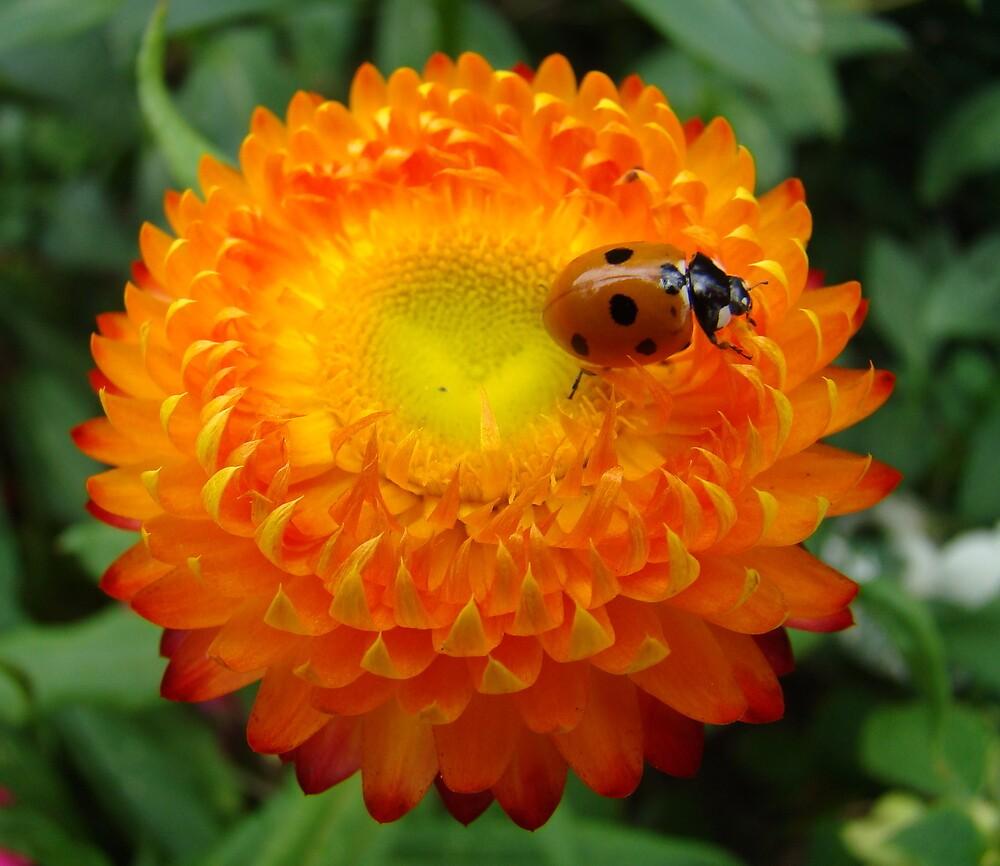 ladybird on orange flower by purpleminx