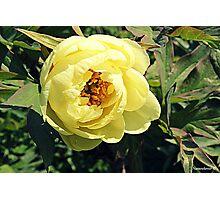 Yellow Tree Peony Photographic Print
