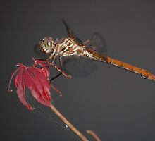 Dragonfly on a Japanese Maple by zpawpaw