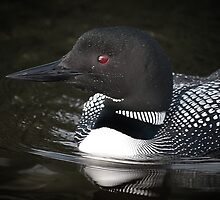Algonquin Park Loon by Laura Sanders