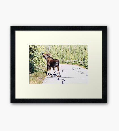 Bull Moose Munching in The Road Framed Print