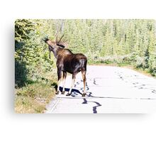 Bull Moose Munching in The Road Metal Print