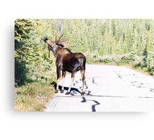 Bull Moose Munching in The Road Metal Print