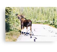 Bull Moose Munching in The Road Canvas Print