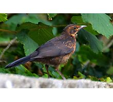 Young Blackbird........Dorset UK Photographic Print