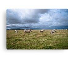 White Cows Canvas Print