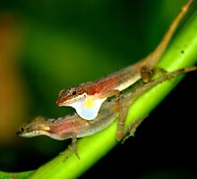 Slender Anoles (Norops limifrons) - Costa Rica by Jason Weigner