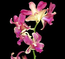 Quezon Memorial Circle orchids 37 by walterericsy