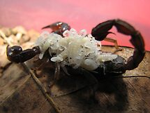 Female Scorpion With Babies by Dave Cauchi