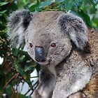 koala and views by alanball