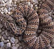 Baby Death Adder by Dave Cauchi