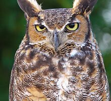 Great horned owl by Robert Kelch, M.D.