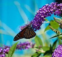 A Hungry Little Butterfly - Put In Bay Ohio by WanderingAngel