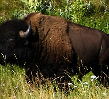 Bison by Mary Ann Reilly