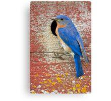 Male Bluebird Canvas Print