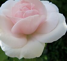 In Pink Earnest Rose by MarianBendeth