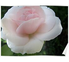 In Pink Earnest Rose Poster