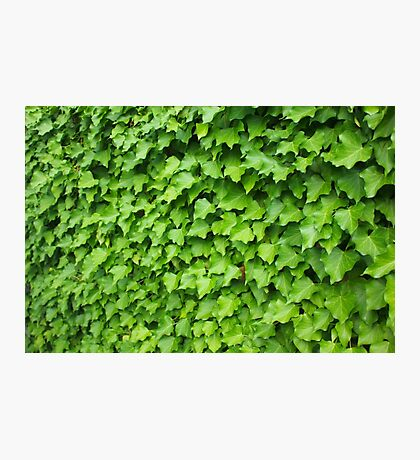 Wall of Ivy Photographic Print