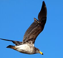 Pacific Gull (Larus pacificus) by Clive