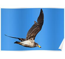 Pacific Gull (Larus pacificus) Poster